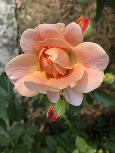 Rose Waterdown, Ontario, CA