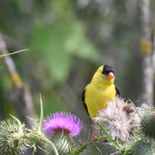 Anerican Goldfinch