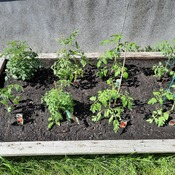 tomatoe plants in may