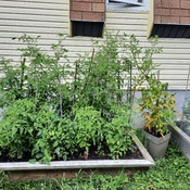 tomatoe plants in july