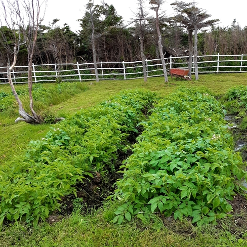 5 beds of potatoes growing well, August 3/21 Mainland, NL