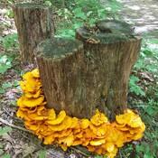 mushroom golden ring