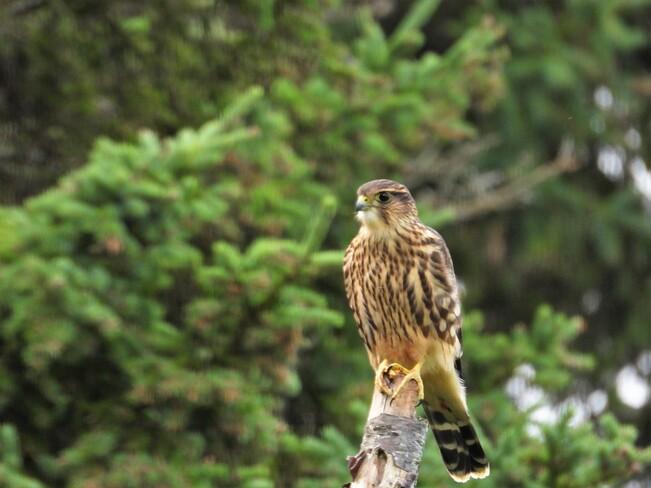 Un Faucon émerillon Matane, QC