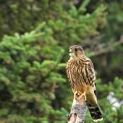 Un Faucon émerillon