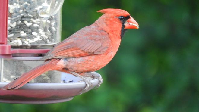 Cardinal avec des dents 🤣 Saint-Georges, QC