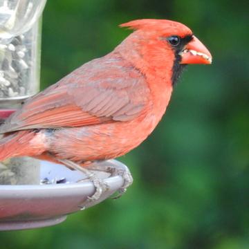 Cardinal avec des dents 🤣