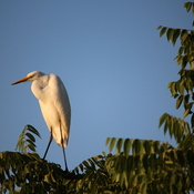 Egret with Birds Eyeview