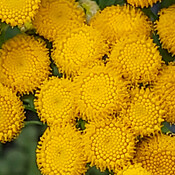 Yellow Tansy Flowers