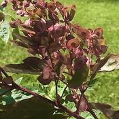 Orach aka Mountain Spinach