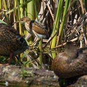 Petit Blongios entre deux canards