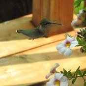 Beautiful Wee Hummingbird