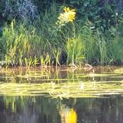 belle fleur sur la riviere darling