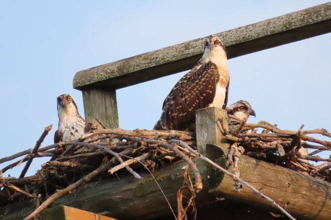 Osprey Family London, ON