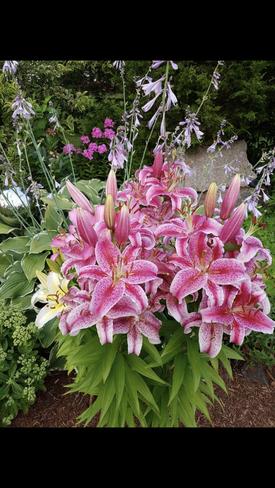 Lilies Brockville, Ontario, CA