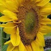 soleil jaune