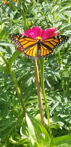 papillon magnifique sur une zinnia Laval, QC
