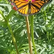 papillon magnifique sur une zinnia