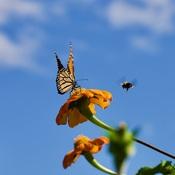 Papillon monarque et abeille