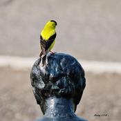 Chardonneret jaune mâle .