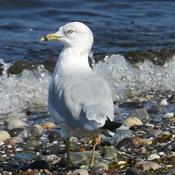Jeune Goéland sur la plage