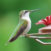 Colibri femelle.