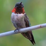 Colibri mâle.