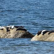 Beaucoup de phoques sur les rochers