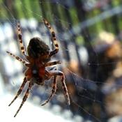 chez l'araignée