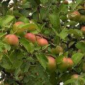 Pommier avec beaucoup de pommes