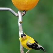 Chardonneret jaune Wow