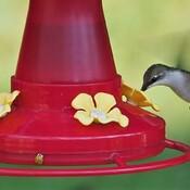 Colibri avec une guêpe à tache blanche