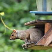 Écureuil vide mes mangeoires