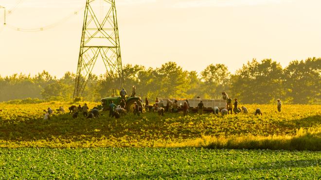 Evening Harvest Simcoe, ON