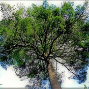 Un pin de 175 ans.