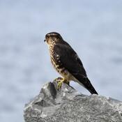 Un Faucon sur la roche aux aguets