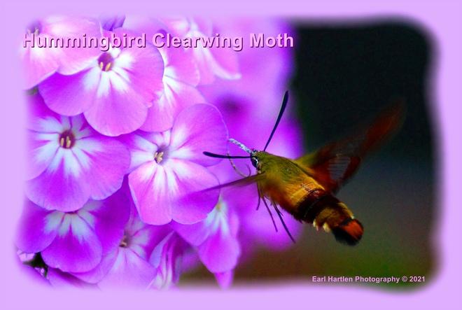 Hummingbird Clearwing Moth Norfolk County, ON