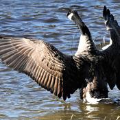 Canards et outardes sur le bord du Saguenay