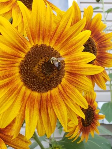 tournesol avec une abeille Sherbrooke, QC
