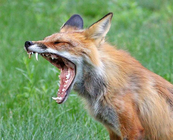 Fox in Ottawa Ottawa, ON