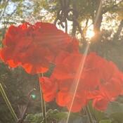 Geranium a l'automne