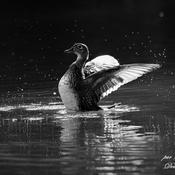 canard branchu se secouant les ailes