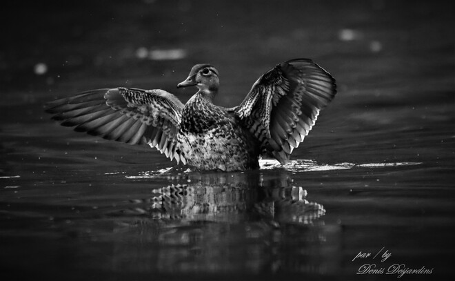 canard branchu se secouant les ailes Unnamed Road, Laval, QC H7N 2T8, Canada