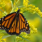 Monarch butterflies in the goldenrod field.