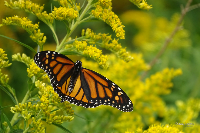 Monarch butterflies in the goldenrod field. Sarnia, ON