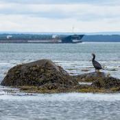Cormoran devant le bateau