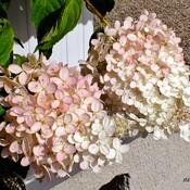 Fleurs d'hydrangée