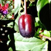 Fruit du fuchsia