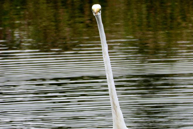Egret plus Bald Eagle Delaware ON