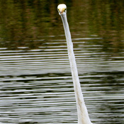 Egret plus Bald Eagle