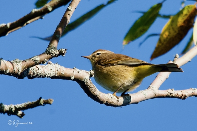 Palm Warbler @ A K Sculthorpe Memorial Marsh in Port Hope Marsh lookout, Waterfront Trail, Port Hope, ON L1A 4L1, Canada